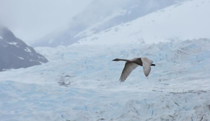 swan-glacier 2017apr19